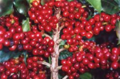 bobule káva